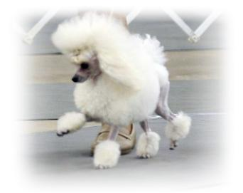 Wildwood Poodle Puppies Breeder Of Toy Poodles Located In Texas